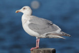 Glaucous-winged Gull, third cycle