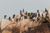 Double-crested, Brandt's, and Pelagic Cormorants