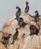 Double-crested, Brandt's, and Pelagic Cormorants, detail