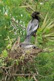 Anhingas, pair at nest