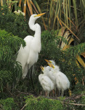 Great Egrets, adult with three nestlings
