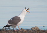 Western Gull, swallowing Canada Goose chick whole