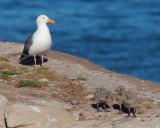 Western Gulls, adult and three chicks