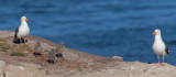 Western Gulls, adult pair and three chicks