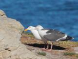 Western Gulls, adult pair interacting