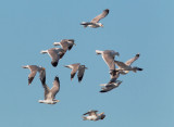 California Gulls