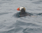 Birds -- Half Moon Bay pelagic, August 19, 2012