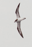 Birds -- Hawaiian Petrel, September 2012