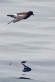 Birds -- Storm Petrels