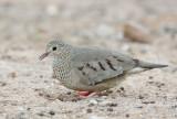 Common Ground-Doves