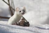 Hermine / Weasel