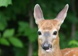 Bambi - Il mange les fleurs du jardin par la tête.  C'est meilleur ;o)