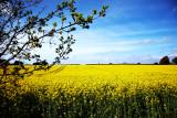 Oil Seed Rape Field in Maximum Glory