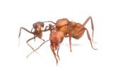 Acromyrmex echinatiorLeaf-cutting ant