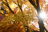 Atlanta Fall Leaves 2011