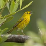 Cuban Golden Warbler