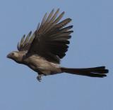 grey_go-away-birds