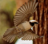 southern_white_crowned_shrike