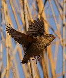 thick-billed_weaver