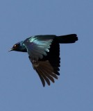 cape_glossy_starling