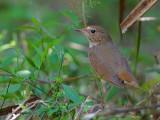 Rufous-tailed Robin - 3