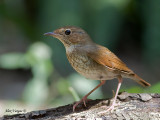 Rufous-tailed Robin -- sp 314