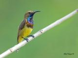 Olive-backed Sunbird -- sp 40