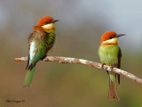 Bee-eaters, Parrots and Hornbills.