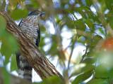 Large Hawk-Cuckoo -- sp 317