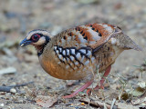 Bar-backed Partridge - sp 318