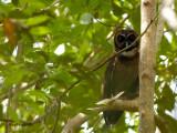Brown Wood Owl - sp 320