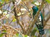 Emerald Cuckoo - sp 323