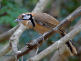 Greater Necklaced Laughinthrush -- sp 55