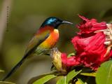Green-tailed Sunbird -- sp 44