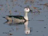 Cotton Pygmy-Goose -- sp 152