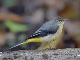 Grey Wagtail - sp 330