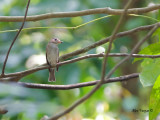 Brown-streaked Flycatcher - sp 335