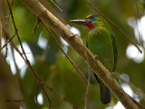 Red-throated Barbet - sp 335