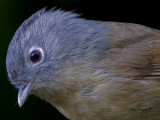 Grey-cheeked Fulvetta -- sp 88