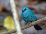Verditer Flycatcher -- Sp 315