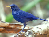 Blue Whistling-Thrush - 2011
