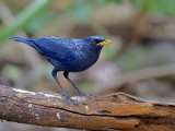 Blue Whistling-Thrush - 2011 - 2