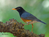 Black-breasted Thrush - male - 2011