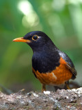 Black-breasted Thrush - male - 2011 - 2