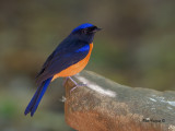 Rufous-bellied Niltava -- sp 215