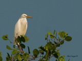 Chinese Egret - sp 339