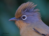 Spectacled Barwing  --  Sp 260