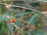 Pin-tailed Parrotfinch - sp 341