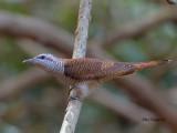 Banded Bay Cuckoo - sp 236