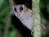 Oriental Bay Owl - sp 345